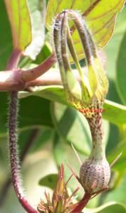 Ceropegia vincaefolia Kandil Pushpa